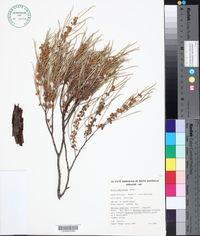 Image of Acacia papyrocarpa