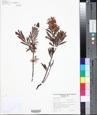 Image of Acacia quornensis