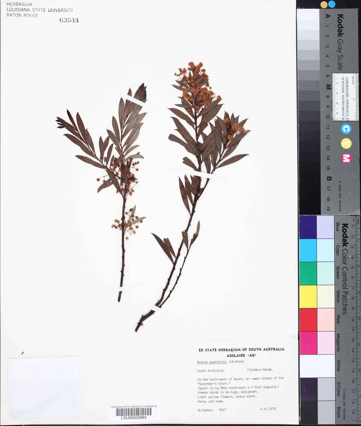 Acacia quornensis image