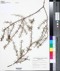 Image of Acacia rupicola