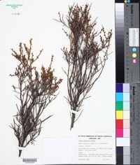Acacia spinescens image