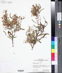 Acacia victoriae image