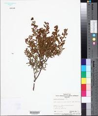 Image of Acacia wilhelmiana