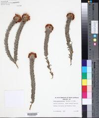 Image of Aotus passerinoides