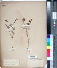 Image of Astragalus austriacus