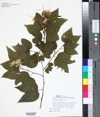 Image of Bauhinia mexicana