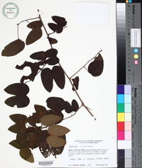 Image of Bauhinia scala-simiae