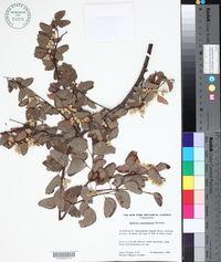 Image of Bauhinia cunninghamii