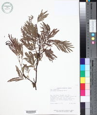 Image of Calliandra calothyrsus