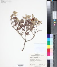 Image of Cassia oligophylla