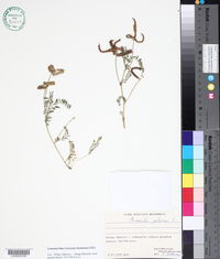 Biserrula pelecinus image