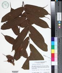 Brownea grandiceps image