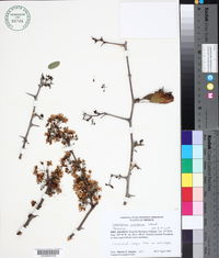 Caesalpinia caladenia image