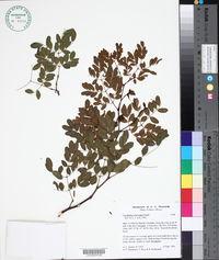 Image of Caesalpinia sclerocarpa