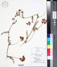Image of Coronilla viminalis