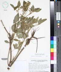 Crotalaria cajanifolia image