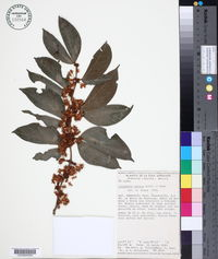 Cynometra retusa image