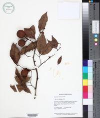 Image of Cynometra hostmanii