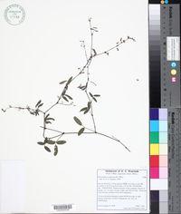 Desmodium scorpiurus image