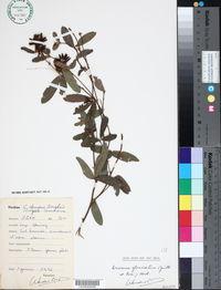 Image of Eriosema glomeratum