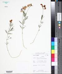 Image of Lathyrus filiformis