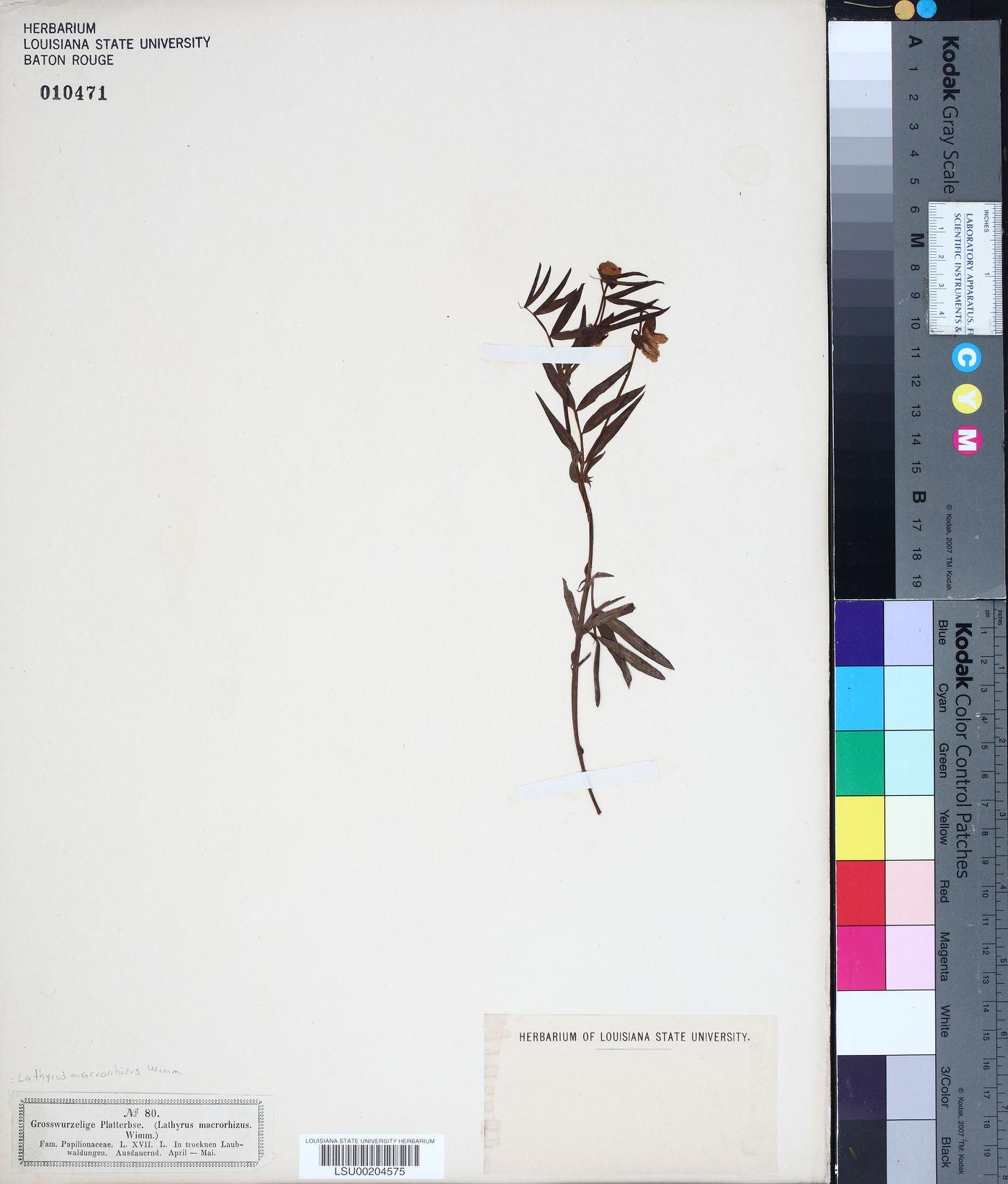Lathyrus linifolius image