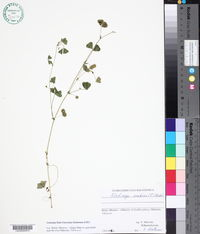Medicago arabica image