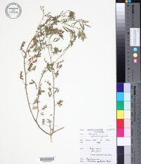 Melilotus sulcatus image