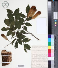 Image of Myroxylon balsamum