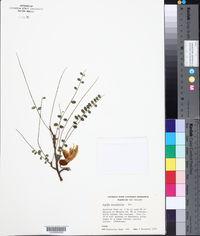 Sophora microphylla image