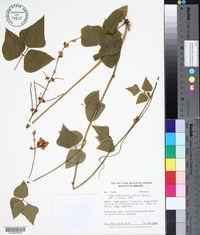 Image of Vigna peduncularis
