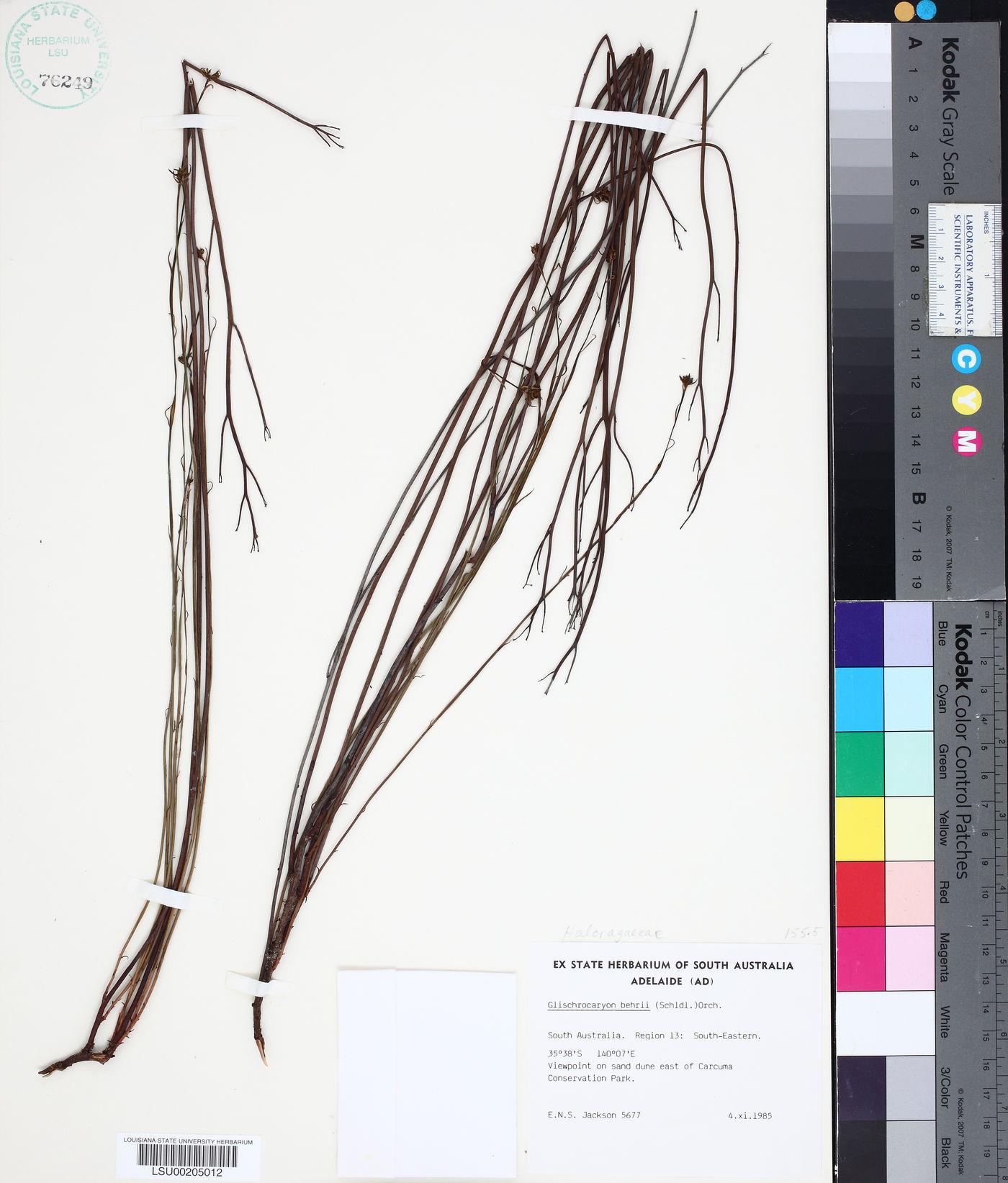 Glischrocaryon behrii image