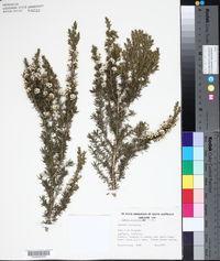 Image of Agonis juniperina