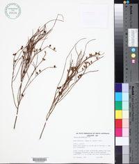Image of Choretrum glomeratum