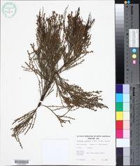 Image of Exocarpos syrticola