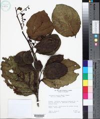Image of Citronella incarum