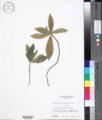 Image of Acalypha gentlei