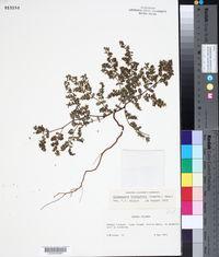 Chamaesyce blodgettii image