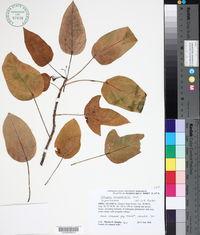 Image of Jatropha hernandiifolia