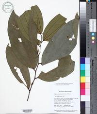 Image of Ziziphus cinnamomum