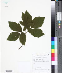 Acer maximowiczianum image