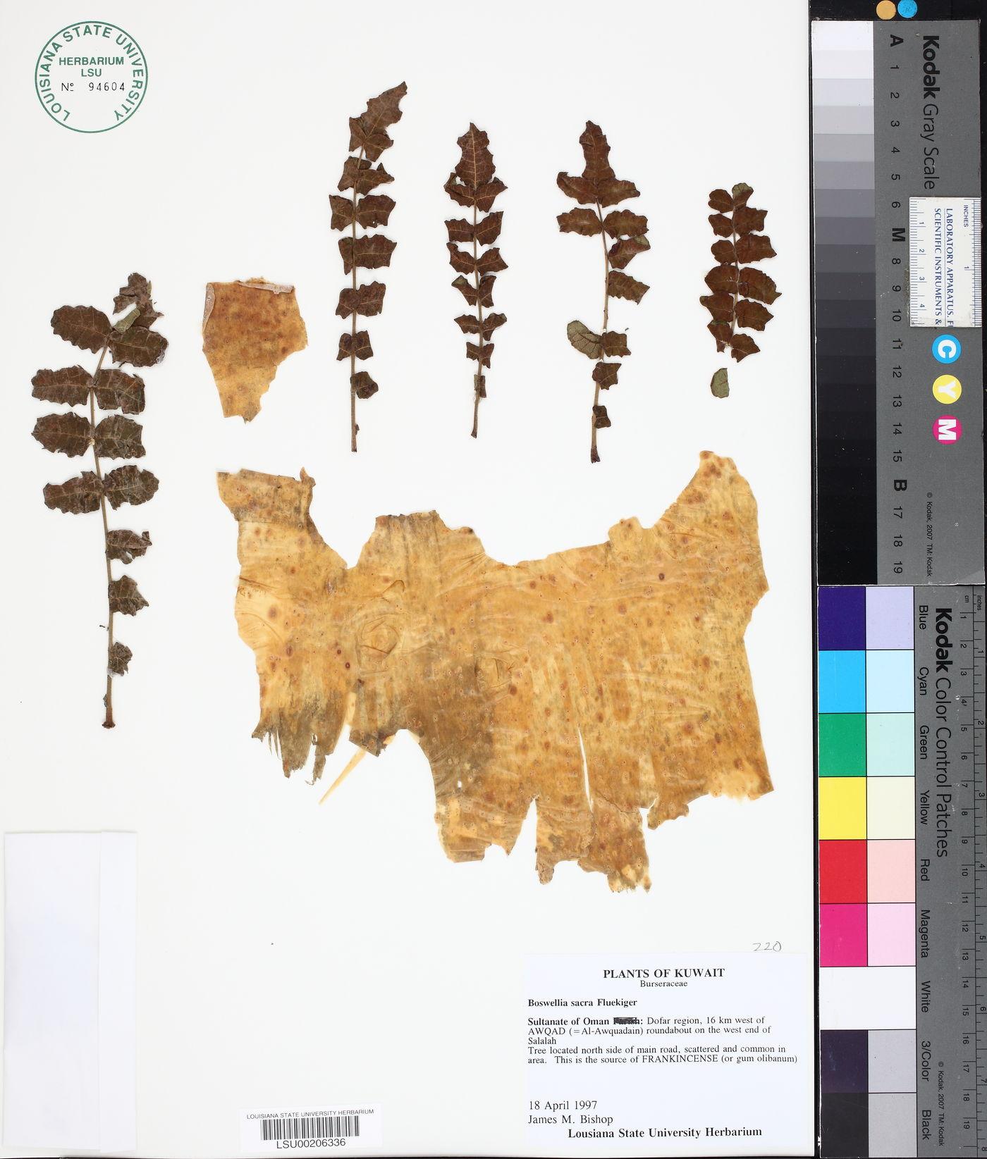 Boswellia image