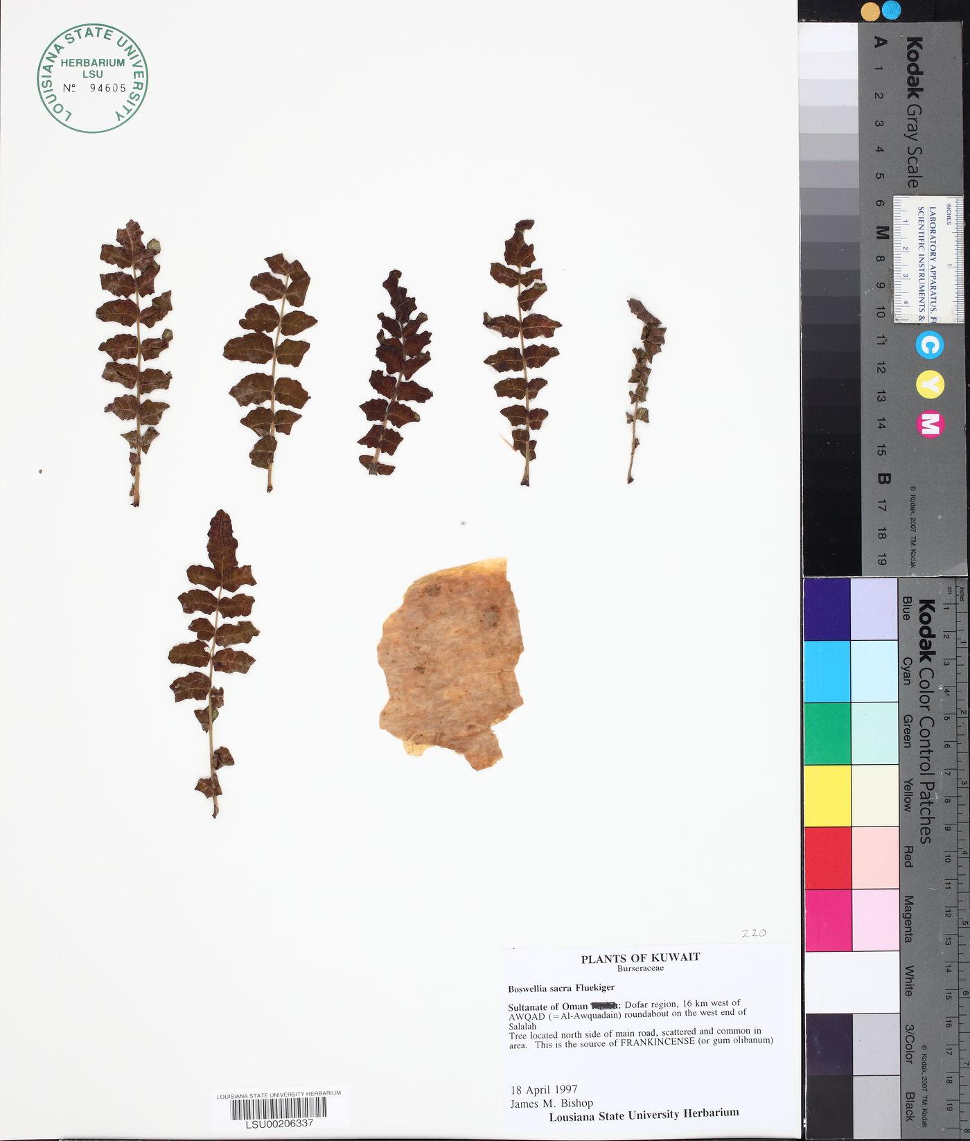 Boswellia sacra image
