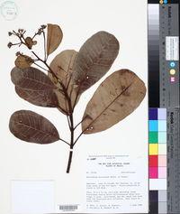Image of Anacardium spruceanum