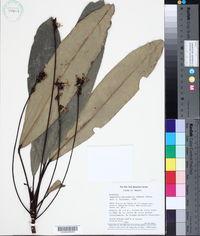 Image of Angostura macrophylla