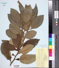 Image of Citrus aurantiaca