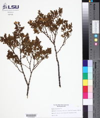 Larrea tridentata var. tridentata image