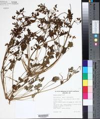 Image of Erodium crinitum