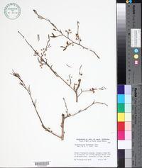 Erythroxylum havanense image