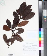 Erythroxylum mucronatum image